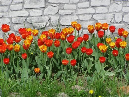 В городе весну можно и пропустить, если не было бы цветников и цветочников. Предлагаю вспомнить весну и возможно поучаствовать в озеленении своего города. фото 1