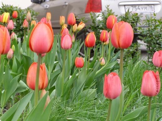 В городе весну можно и пропустить, если не было бы цветников и цветочников. Предлагаю вспомнить весну и возможно поучаствовать в озеленении своего города. фото 21