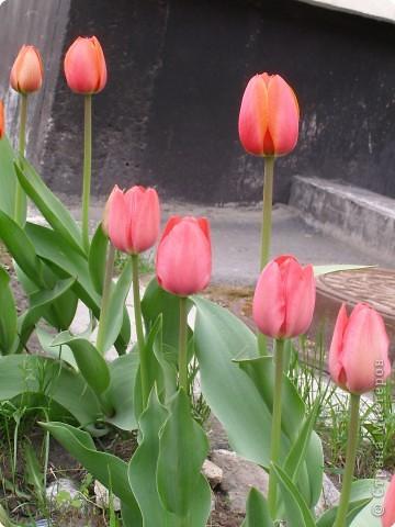 В городе весну можно и пропустить, если не было бы цветников и цветочников. Предлагаю вспомнить весну и возможно поучаствовать в озеленении своего города. фото 22