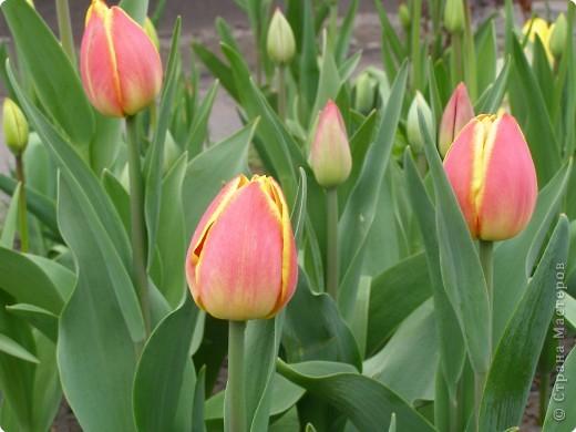 В городе весну можно и пропустить, если не было бы цветников и цветочников. Предлагаю вспомнить весну и возможно поучаствовать в озеленении своего города. фото 24