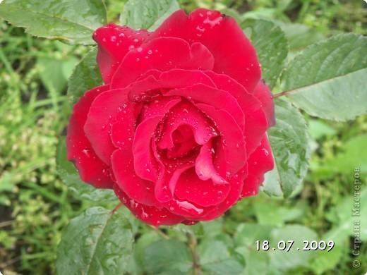 Роза - королева сада. фото 1