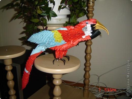 Попугай АРА Рома фото 1