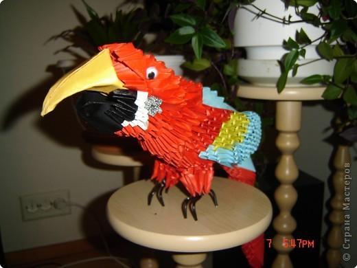 Попугай АРА Рома фото 4