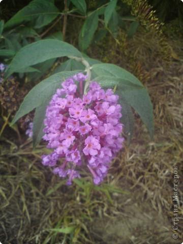 Шла с работы и увидела такие маленькие, нежные цветочки , которые цветут и радуют нас своей красотой в такую сырую и холодную погоду.Фотографировала 14 октября на Покрову Пресвятой Богородицы, в этот день у нас очень сильно похолодало до+10 градусов  (13 октября температура была больше 20 градусов). фото 2