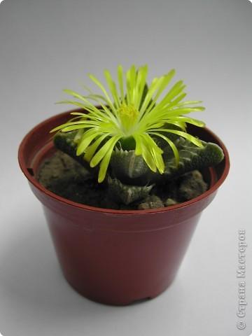 Вот такие кактусы у меня были. Сейчас растут и цветут у сестры. фото 2