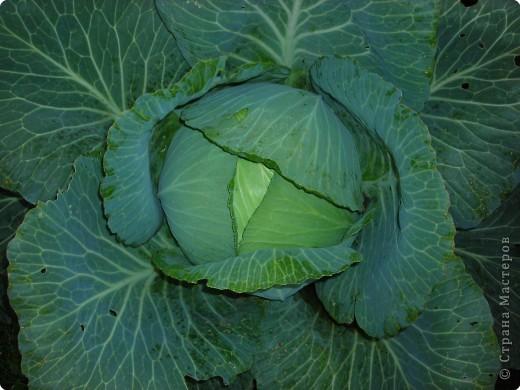 Урожайные грядки. фото 5