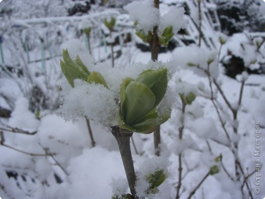 Нарциссы в снегу.Май. фото 2