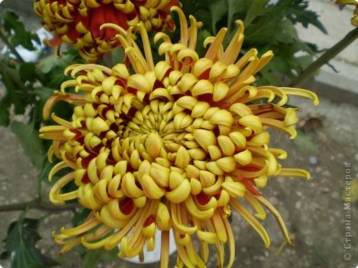 Хризантемы фото 8