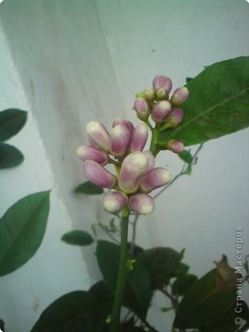 У меня на Новый Год зацвел лимон. Полюбуйтесь и вы на его цветы. фото 3