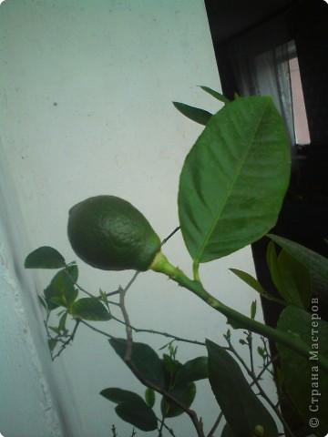 У меня на Новый Год зацвел лимон. Полюбуйтесь и вы на его цветы. фото 4