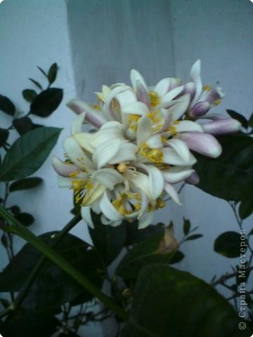 У меня на Новый Год зацвел лимон. Полюбуйтесь и вы на его цветы.