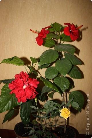 Не определена: Китайские розы фото 2
