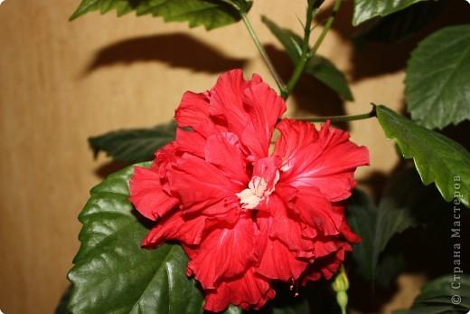 Не определена: Китайские розы фото 1