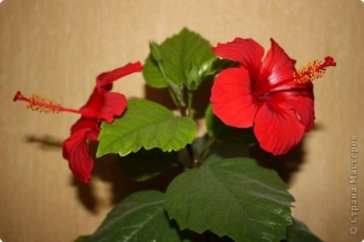Не определена: Китайские розы фото 3