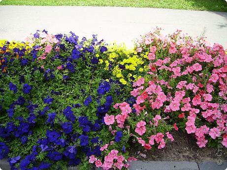 Клумбочное разноцветье фото 2