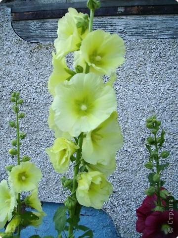 Клумбочное разноцветье фото 10