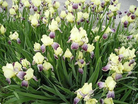 Клумбочное разноцветье фото 11