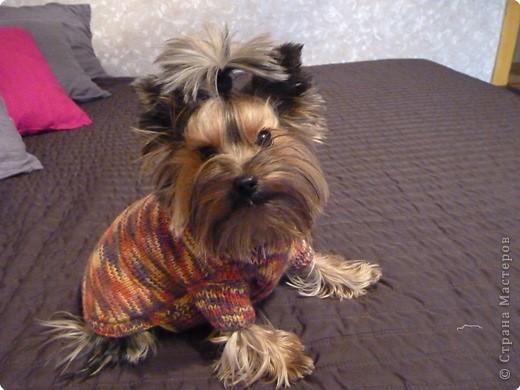Вязание спицами: Свитерок для собачки фото 1