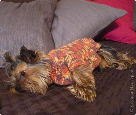 Вязание спицами: Свитерок для собачки фото 2