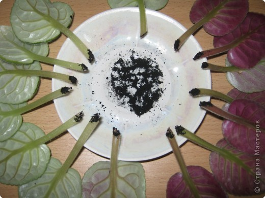 Очень люблю фиалки. Вот уже два года с детьми занимаемся выращиванием фиалок. Хочу поделиться своим методом, может кому-то пригодится. фото 4