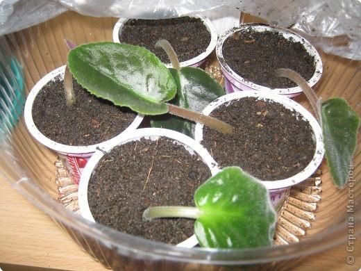 Очень люблю фиалки. Вот уже два года с детьми занимаемся выращиванием фиалок. Хочу поделиться своим методом, может кому-то пригодится. фото 11