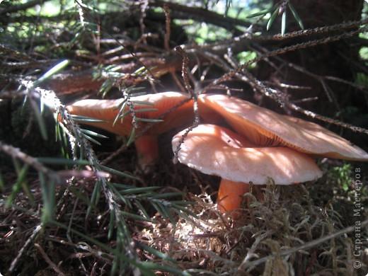 Ягоды в лесу горят пожаром... Брусника фото 10