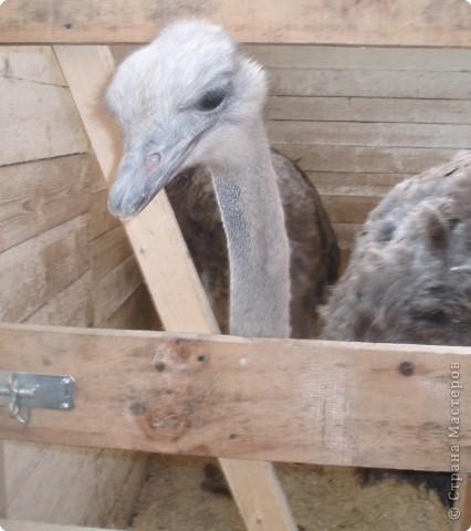 зимой ездили в наш зоопарк, нашла фото решила выставить,конечно здесь не все животные выставлены , просто много фото получились не очень  страус фото 16