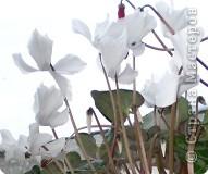 Мои любимые цикламены!!! фото 7