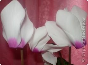 Мои любимые цикламены!!! фото 2