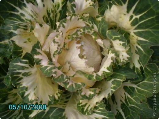 ацидантера или душистый гладиолус фото 11