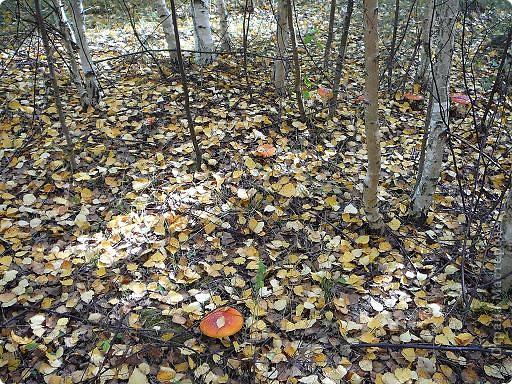 Собирала в лесу рыжики и любовалась... мухоморами. фото 2