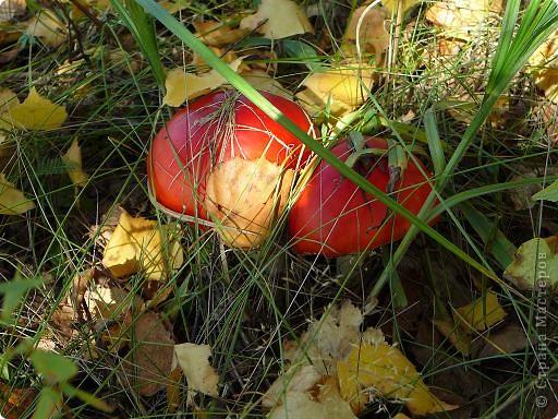 Собирала в лесу рыжики и любовалась... мухоморами. фото 10