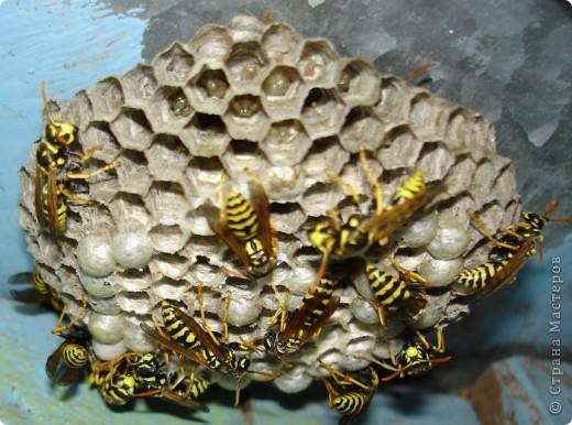 Я с первого занятия этого года пообещала мальчишек накормить медом из одуванчиков. Конечно, это очень заинтриговало мальчишек, тем более, что мама не смогла на этот вопрос им ответить.  И сегодня настал такой момент. Пчелы живут у ульях – это им известно. А где живут осы?  фото 7