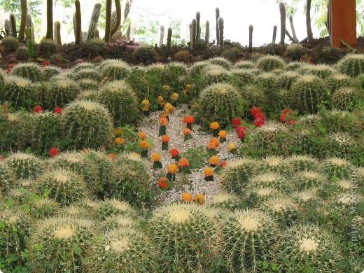 Спешу поделиться красотой, сегодня посетили парк Утопия, который находится в центре Израиля. В Парке есть кактусы, орхидеи, хищные растения и много другого интересного. Сегодня помещаю только кактусы. фото 5