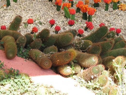 Спешу поделиться красотой, сегодня посетили парк Утопия, который находится в центре Израиля. В Парке есть кактусы, орхидеи, хищные растения и много другого интересного. Сегодня помещаю только кактусы. фото 6