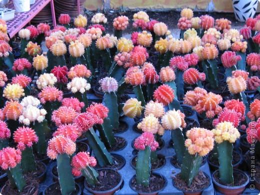 Спешу поделиться красотой, сегодня посетили парк Утопия, который находится в центре Израиля. В Парке есть кактусы, орхидеи, хищные растения и много другого интересного. Сегодня помещаю только кактусы. фото 1