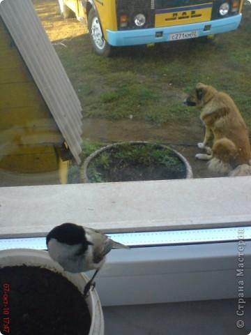 Недавно мы спасли маленькую трясогузку, за это она нам подарила хорошее настроение. Птичка со всего маху врезалась в окно автобуса, казалось она уже не выживет. Чтобы спасти от кошек мы занесли её домой. Не прошло и 15 минут как она ожила и неплохо освоилась у нас дома. фото 7