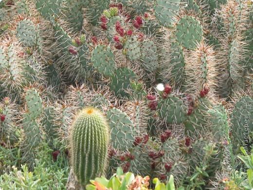Спешу поделиться красотой, сегодня посетили парк Утопия, который находится в центре Израиля. В Парке есть кактусы, орхидеи, хищные растения и много другого интересного. Сегодня помещаю только кактусы. фото 13
