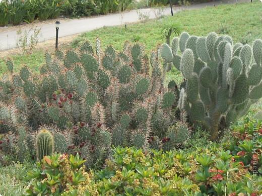 Спешу поделиться красотой, сегодня посетили парк Утопия, который находится в центре Израиля. В Парке есть кактусы, орхидеи, хищные растения и много другого интересного. Сегодня помещаю только кактусы. фото 12