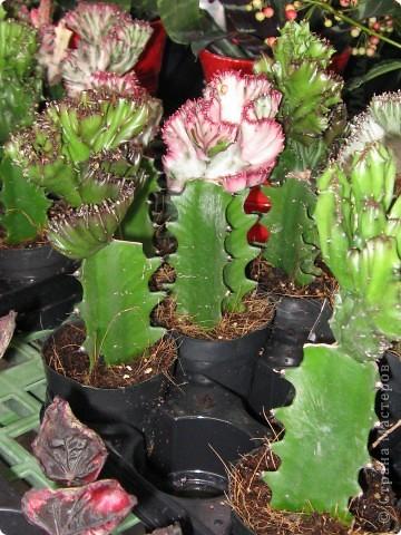 Спешу поделиться красотой, сегодня посетили парк Утопия, который находится в центре Израиля. В Парке есть кактусы, орхидеи, хищные растения и много другого интересного. Сегодня помещаю только кактусы. фото 16