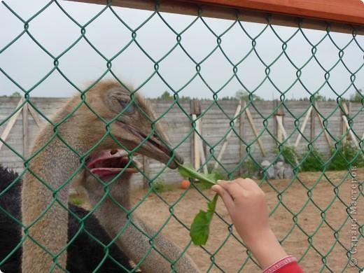 Страус.Недалеко от Гатчины есть небольшая ферма, где наряду со свинками хозяин решил разводить и таких экзотических птичек.Нам даже разрешили их покормить. фото 2