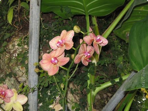 Выставляю продолжение экскурсии. Орхидеи уже были у Нюсеньки (http://stranamasterov.ru/node/87695?c=favorite)и я сомневалась, выставлять или нет, оставила только непохожие, если пропустила,  отметьте-удалю. фото 7