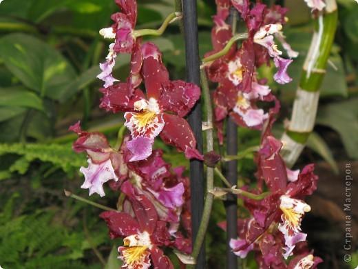 Выставляю продолжение экскурсии. Орхидеи уже были у Нюсеньки (http://stranamasterov.ru/node/87695?c=favorite)и я сомневалась, выставлять или нет, оставила только непохожие, если пропустила,  отметьте-удалю. фото 8