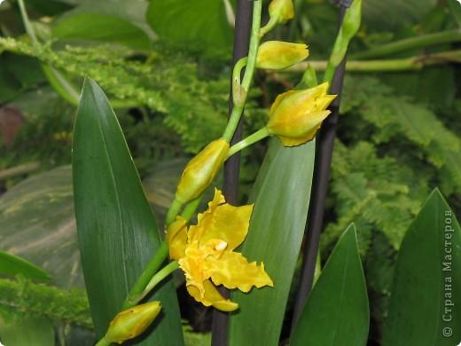 Выставляю продолжение экскурсии. Орхидеи уже были у Нюсеньки (http://stranamasterov.ru/node/87695?c=favorite)и я сомневалась, выставлять или нет, оставила только непохожие, если пропустила,  отметьте-удалю. фото 9