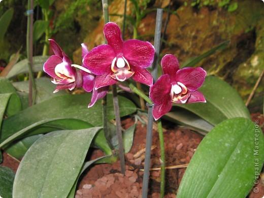 Выставляю продолжение экскурсии. Орхидеи уже были у Нюсеньки (http://stranamasterov.ru/node/87695?c=favorite)и я сомневалась, выставлять или нет, оставила только непохожие, если пропустила,  отметьте-удалю. фото 11