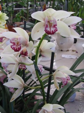 Выставляю продолжение экскурсии. Орхидеи уже были у Нюсеньки (http://stranamasterov.ru/node/87695?c=favorite)и я сомневалась, выставлять или нет, оставила только непохожие, если пропустила,  отметьте-удалю. фото 18