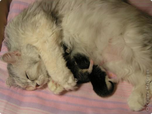 Моя красотулька Алиса родила котят, всего троих! Это ее первые роды. Один, к сожалению, не выжил, а двое в прекрасной форме, растут и радуются жизни -) П.с. уже редактирую. Забыла сказать, что я приняла собственноручно роды, Алиска по незнанию не сделала, что от нее требовалось, не вылизала и пуповину не перегрызла. Я в хирургических перчатках, как в фильме, протыкала пузырь, перерезала пуповину, откачивала грушкой слизь, обрабатывала котят -) и давала ей вылизывать. Кровищи было по полу.. ух! Это было 3 часа ночи, муж все заснял на видео -) Я прямо себя акушером-гинекологом чувствовала-) Пыталась оживить того умершего котенка, но, к сожалению. фото 15