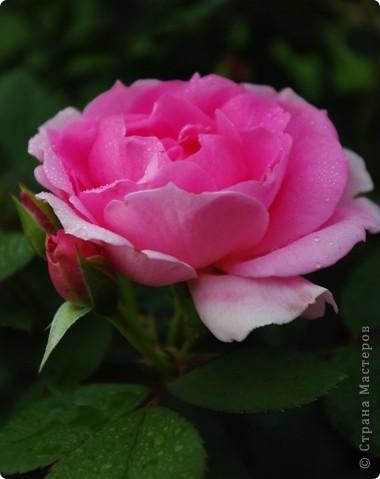 Миллион роз... фото 4