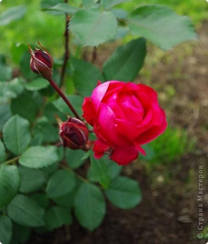 Миллион роз... фото 9