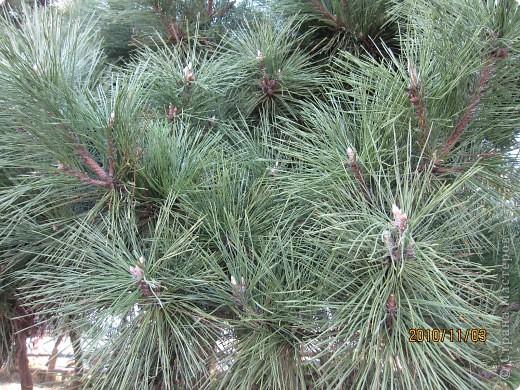 Надумали мы пойти в парк,который находится недалеко от Токийского залива. Там растет очень много сосен. В прошлом году мы там насобирали очень много шишек. Собрались на охоту и в этот раз. фото 6